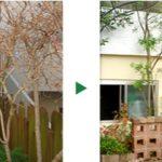 ノウゼンカズラの剪定とレモンの木の植栽~京都府京都市北区~