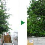 シマトネリコの剪定 奈良県奈良市