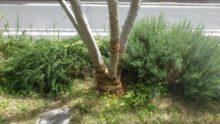 ゾウムシに喰われたオリーブの木の樹勢回復(後)