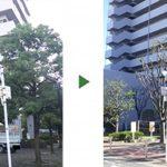 欅(ケヤキ)などマンションの共有部分の剪定 大阪市旭区