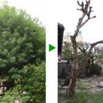 お庭の植木 カイズカイブキ、トベラの伐採 大阪市旭区