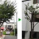 落ち葉が多くてお悩み桜の木の剪定 大阪府堺市堺区