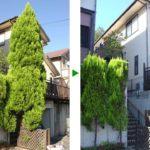 高さ7mのゴールドクレストの伐採 兵庫県川西市
