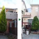大きくなりすぎたゴールドクレストの剪定~クリスマスツリーとしても人気~京都府宇治市