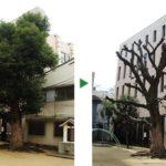 公園を管理している自治会からのご依頼~クスノキの剪定~大阪市都島区