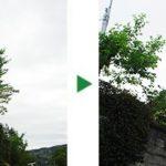ハナミズキの剪定とサクラの木の伐採~大阪府高槻市~