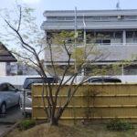 4mのイロハモミジをバランス良く剪定して美しい樹形に 奈良県奈良市