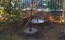 植木の根元の土を掘り、水が溜まっている状態