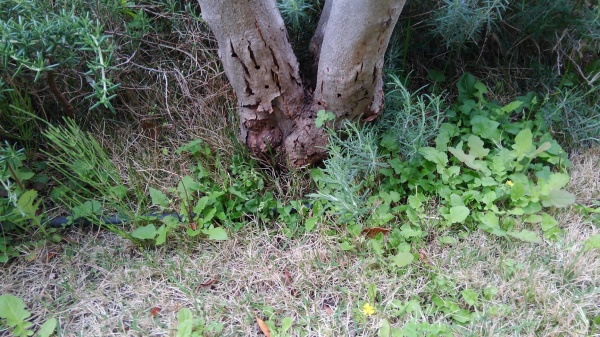 ゾウムシに喰われたオリーブの木の樹勢回復(前)