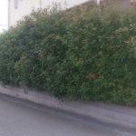 レッドロビンの生垣を剪定|LINEの写真でお見積もり 奈良県生駒市