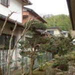 お庭のモミジ、マキ、ウバメガシ、コブシ、マサキの剪定 奈良県奈良市