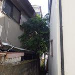 家の裏に生えてきて大きくなってしまったシラカシの伐採 奈良県奈良市
