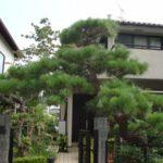 クロマツの剪定作業|玄関のクロマツをきれいにサッパリ剪定 大阪府堺市美原区