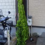 大きくなって枯れてしまったゴールドクレストの撤去と植栽(植え替え)奈良県生駒市