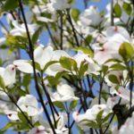 オススメ植木:ハナミズキ