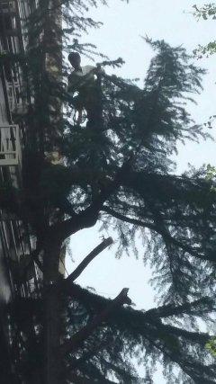 ヒマラヤスギに登って伐採
