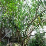 伐採|植木鉢で育ったキョウチクトウを伐採 大阪府大阪市住吉区 中庭
