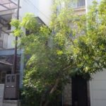 大きくなりすぎた庭木のシマトネリコ|出入りできるように剪定 大阪府大阪市城東区