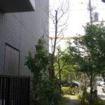 マンション植栽地の枯木伐採作業|枯れているため注意し伐採作業 大阪府枚方市