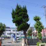高木の剪定作業|カイズカイブキを出来るだけ頭を軽く剪定 大阪府大阪市住之江区