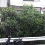茂って通りにくくなった庭木を剪定|道を作り通りやすく剪定 大阪府大阪市天王寺区