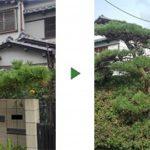 やめてしまった近所の植木屋さんの代わりにクロマツを剪定 大阪府堺市堺区