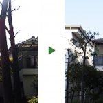 落ち葉が近所迷惑に!自生して大きくなったクスノキの伐採 大阪府堺市北区