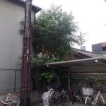 空き家裏の大きくなってしまったナンキンハゼの伐採 奈良県奈良市