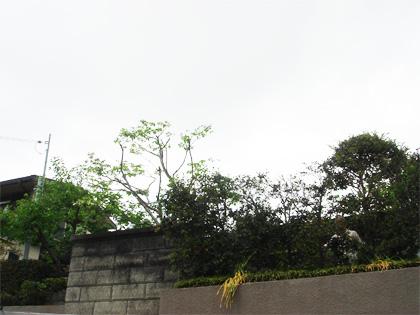 桜の高木伐採前後