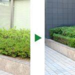 ビルエントランス前のヒラドツツジとアラカシの剪定 大阪市中央区