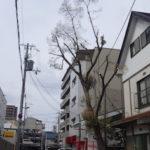 クスノキの剪定|台風で折れた枝と電線にかかった枝が危険 奈良県奈良市