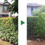 奈良県生駒市 レッドロビンの生垣の剪定と雑草の除去