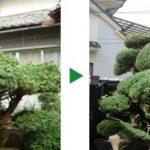 毎年行うクロマツやマキの剪定と草刈りと、施肥のご相談 大阪府松原市