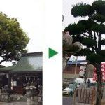 17mの神社の大木を剪定~大阪府大阪市城東区~