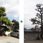 松の剪定の料金を半分にするコツ~5月の芽摘みは省略できる~大阪府吹田市
