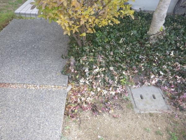 玄関先の巨大な根を取り除いた事例 作業前