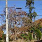 樹高15mの杉の伐採~大阪府能勢町~