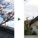 電線に当たってしまっている桜の剪定~奈良県奈良市~
