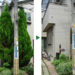 ゴールドクレスト2本の剪定と伐採 台風対策は事前に 大阪府吹田市